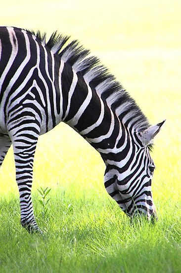 Zebra Grazing by Carole-Anne