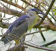Black Capped Night Heron Says Hello by imagetj