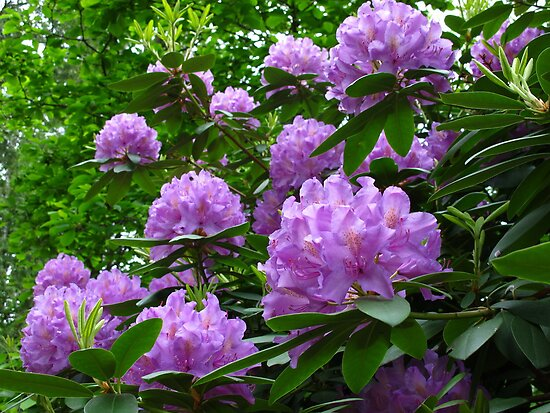 Rhododendron day in May by MarianBendeth