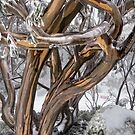 Australian Snow Gums by Janette Rodgers