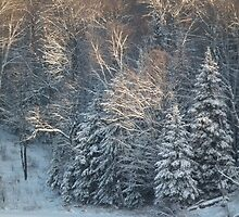 Spruce Trees in Snow by Tom Gray