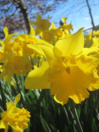 Wedding Day Daffodils by justineb