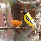 Black Headed Oriole | Oriolus larvatus by Maree Clarkson