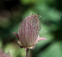 Prairie Smoke by Gary Chapple