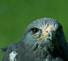 Looking to the eye of the hawk by Dominic  Boulding