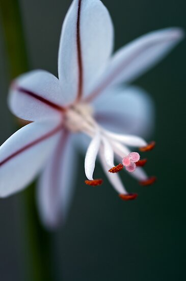 Onion Weed Flower by Ladyshark