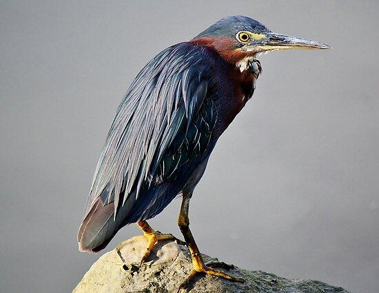 Heron in the Marsh by Paulette1021