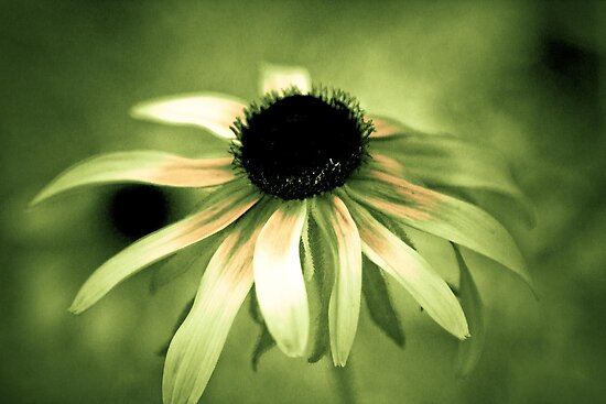 Black eyed Susan dressed in creams  by KSKphotography