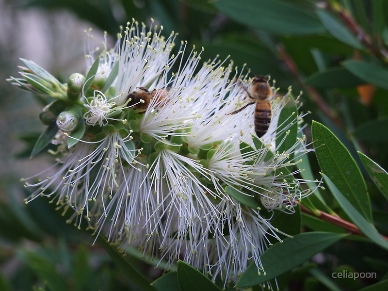 White Bottle Brush with Bees by celiapoon