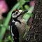 Closeup great spotted woodpecker by Peter Wiggerman