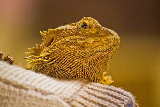 Central Bearded Dragon by Dean Cunningham
