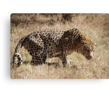 Leopard waiting to pounce Canvas Print