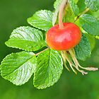 Rose hip fruit by Margaret S Sweeny