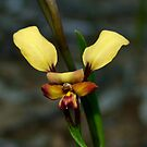 Donkey Orchid by Rick Playle