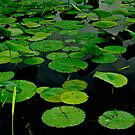 Lily Pads on Dark Water by Paul Wolf