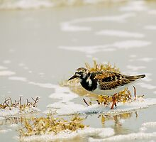 Ruddy Turnstone (Arenaria interpres) by Paul Wolf