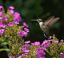 Hummingbird and Phlox by Sandy Keeton