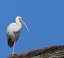 White Ibis-Blue Sky by Paul Wolf