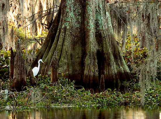 Egret and Cypress by Paul Wolf