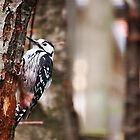 White backed woodpecker by Mark Williams