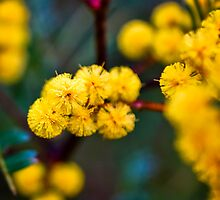 Wattle by Trudi Skinn