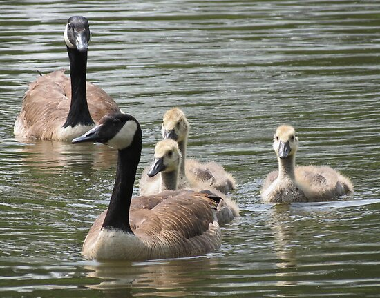 Goose Family by Alex Call