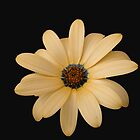 Pretty Cape Daisy on Black Background by MidnightMelody
