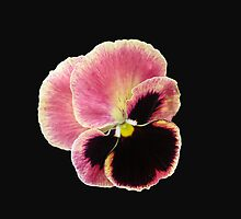 All Alone - Pansy on Black Background by MidnightMelody