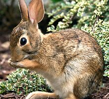 Young Cottontail by KAREN SCHMIDT