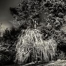 WinterWillow - Mt Wilson by Ian English