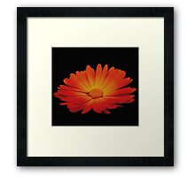 Marigold on black Framed Print