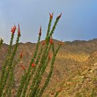 Ocotillo Blooms by John Butler