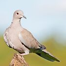 Collared Dove by M.S. Photography & Art