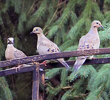Mourning Dove Family. by vette