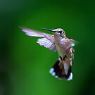 Hummingbird by Jim Cumming