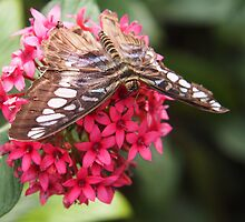 blue skipper on pentas by Linda  Makiej