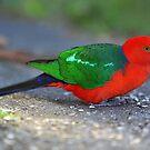 Male King Parrot. Cedar Creek, Qld, Australia. by Ralph de Zilva