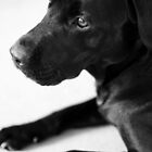 Dogs - Black Labrador by Lynn Ede