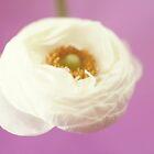 white rununculus by beverlylefevre