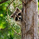 young raccoon 2 2012 by leftysphotos