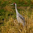 Brolga with 9 lives by Stephen  Nicholson