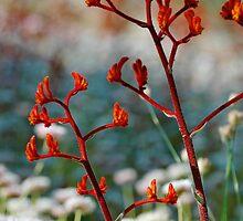 Red Kangaroo Paws 2 by Kell Rowe