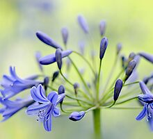 Agapanthus by Jacky Parker