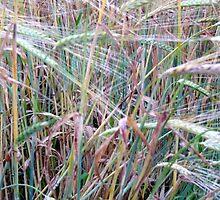 Barley at Sunset by HELUA