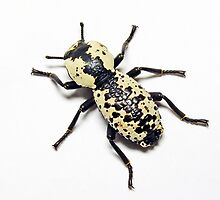 Bold Beetle by Bill Morgenstern