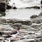 Pied Oyster Catcher by Yukondick