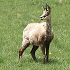 Chamois by Anthony Brewer