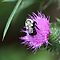 Bee on Thistle - Dunrobin Ontario by Debbie Pinard