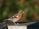 Chaffinch.............! by Roy  Massicks