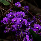 Hardenbergia Violacea - False Sarsaparilla by GP1746